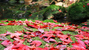 Red maple. Maple red on stone garden Royalty Free Stock Image