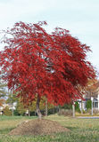 Red Maple Tree Stock Photo