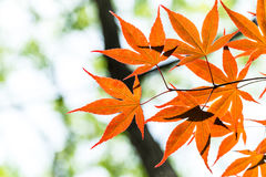 Red maple. On the tree 2 Stock Photo