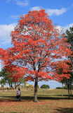 Red maple tree Royalty Free Stock Photography