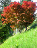 Red Maple tree Royalty Free Stock Images