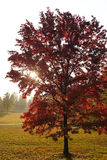Red maple tree autumn. Green grass foliage garden Royalty Free Stock Images