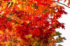 Orange maple tree in autumn season, maple tree branch bright colors in orange, red and yellow in the forest. Red maple tree in autumn season, maple tree branch Stock Photos