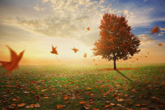 Red maple tree in autumn Stock Image
