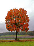 Red maple tree in autumnal landscape Royalty Free Stock Image