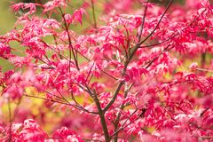 Red maple tree background Royalty Free Stock Photography