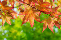 Red maple tree background Royalty Free Stock Images