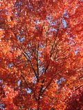 Red Maple Tree Beauty Stock Photo