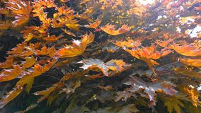 Red maple tree with big and bright leaves in the morning sun close up. Acer rubrum, the red maple, also known as swamp, water or s. Oft maple. Beautiful royalty free stock photos