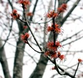 Red Maple Tree in Bloom Stock Photography