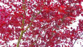 Red maple tree branches in the wind, footage. Red maple tree branches in the wind in autumn, footage stock video