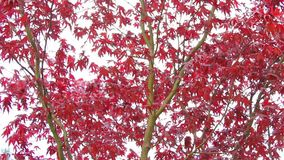 Red maple tree branches in the wind, footage stock video footage