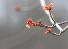 Red maple tree budding Stock Photography