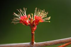 Red maple tree budding in the early spring stock photo