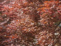 Red maple tree Stock Images