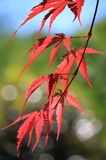 Red Maple Tree Closeup. Japanese Red Maple Tree Leave Closeup Royalty Free Stock Images