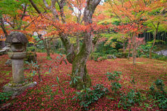 Red maple tree on Enkoji temple garden in Kyoto Stock Images