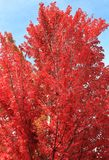 Red Maple Tree. Fall, blue sky, natural background royalty free stock photography