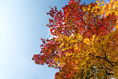 Red maple tree Stock Image