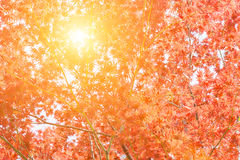 Red maple tree in forest in fall, Beautiful autumn background. Stock Images