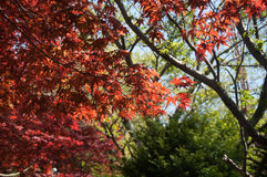 Red Maple with tree full picture. It is in entrance of Chureito Pagoda Stock Photography