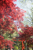 Red Maple with tree full picture Royalty Free Stock Photography