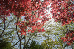 Red Maple with tree full picture Stock Images