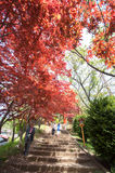 Red Maple with tree full picture. It is in entrance of Chureito Pagoda Stock Images