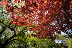 Red Maple with tree full picture Royalty Free Stock Images
