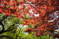 Red Maple with tree full picture Stock Photo