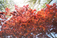 Red Maple with tree full picture Royalty Free Stock Photo