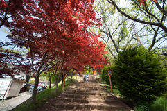 Red Maple with tree full picture. It is in entrance of Chureito Pagoda Royalty Free Stock Photos