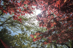 Red Maple with tree full picture Royalty Free Stock Photos