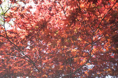 Red Maple with tree full picture Stock Image