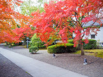 Red maple tree in Japanese garden Stock Image