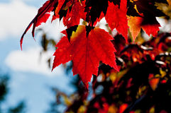 Red Maple tree leaf, back lit Royalty Free Stock Photography