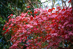 Red maple tree Stock Image