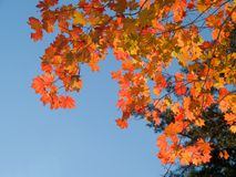 Red maple tree leaves against blue sky Stock Photography