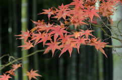 Red maple tree leaves background. Autumn red maple leaves with bamboo tree background in Japan Stock Image