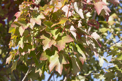 Red Maple Tree Leaves. Close up of red maple leaves during the autumn season Stock Photography