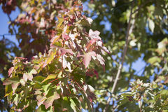 Red Maple Tree Leaves Stock Image