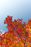 Red maple tree leaves Stock Photography