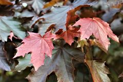 Red Maple Tree leaves in Malone, New York, United States. Glistening red maple tree leaves during the summer time in Malone, New York, United States Royalty Free Stock Photo