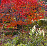 Red maple tree in lush garden Stock Photos
