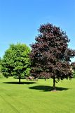 Red Maple Tree in Malone, New York, United States. Glistening red maple tree during the summer time in Malone, New York, United States Stock Photos