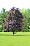 Red Maple Tree in Malone, New York, United States. Glistening red maple tree during the summer time in Malone, New York, United States Royalty Free Stock Images