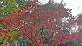 Red Maple Tree midst Green Leaves in Park stock video footage