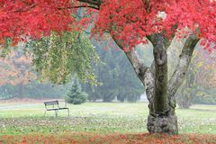 Red maple tree in misty autumn garden Royalty Free Stock Photos