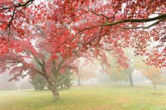 Red maple tree in misty autumn garden Royalty Free Stock Photo