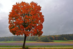 Red maple tree at Phacelia field in late summer. Change of colors at fall in the Altmühltal nature park in Bavaria, Germany: A maple tree with its red foliage Stock Photography